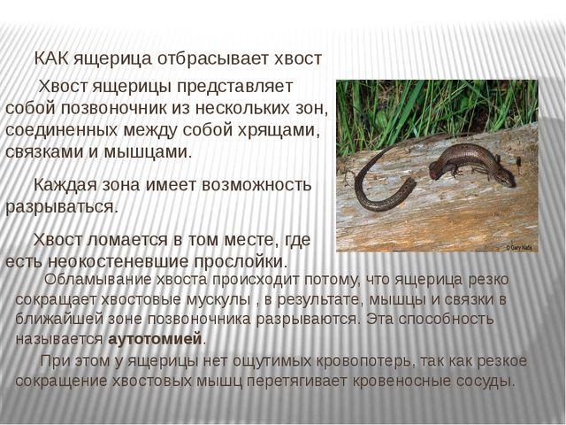Хвост ящерицы представляет собой позвоночник из нескольких зон, соединенных...