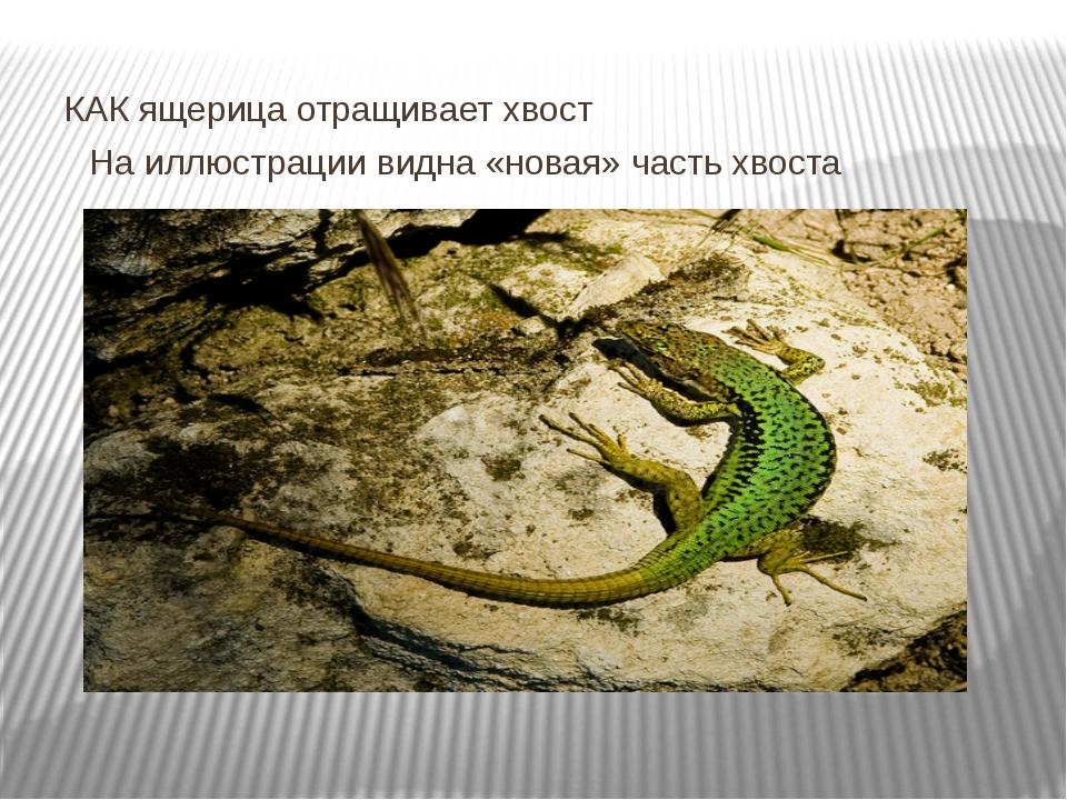 КАК ящерица отращивает хвост На иллюстрации видна «новая» часть хвоста