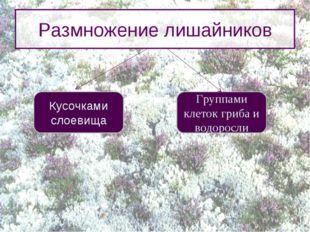 Размножение лишайников Кусочками слоевища Группами клеток гриба и водоросли