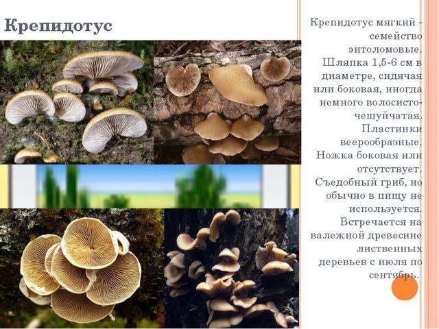 Крепидотус Крепидотус мягкий - семейство энтоломовые. Шляпка 1,5-6 см в диаме...