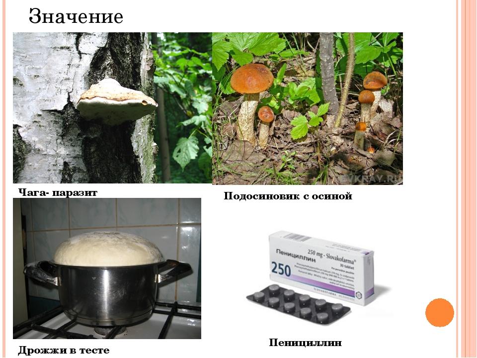 Значение Чага- паразит Подосиновик с осиной Дрожжи в тесте Пенициллин