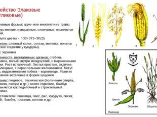 Семейство Злаковые (Мятликовые) Жизненные формы: одно- или многолетние травы.
