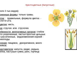 Крестоцветные (Капустные) (около 3 тыс.видов) Жизненные формы: только травы.
