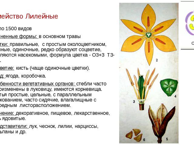 Семейство Лилейные около 1500 видов Жизненные формы: в основном травы Цветки:...