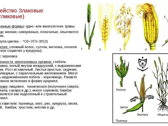 Семейство Злаковые (Мятликовые) Жизненные формы: одно- или многолетние травы....
