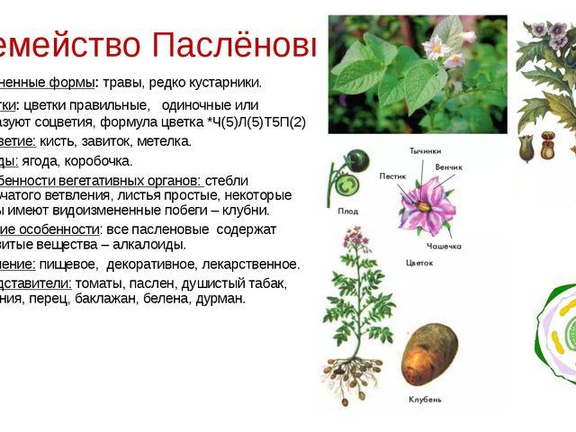 Семейство Паслёновые Жизненные формы: травы, редко кустарники. Цветки: цветки...