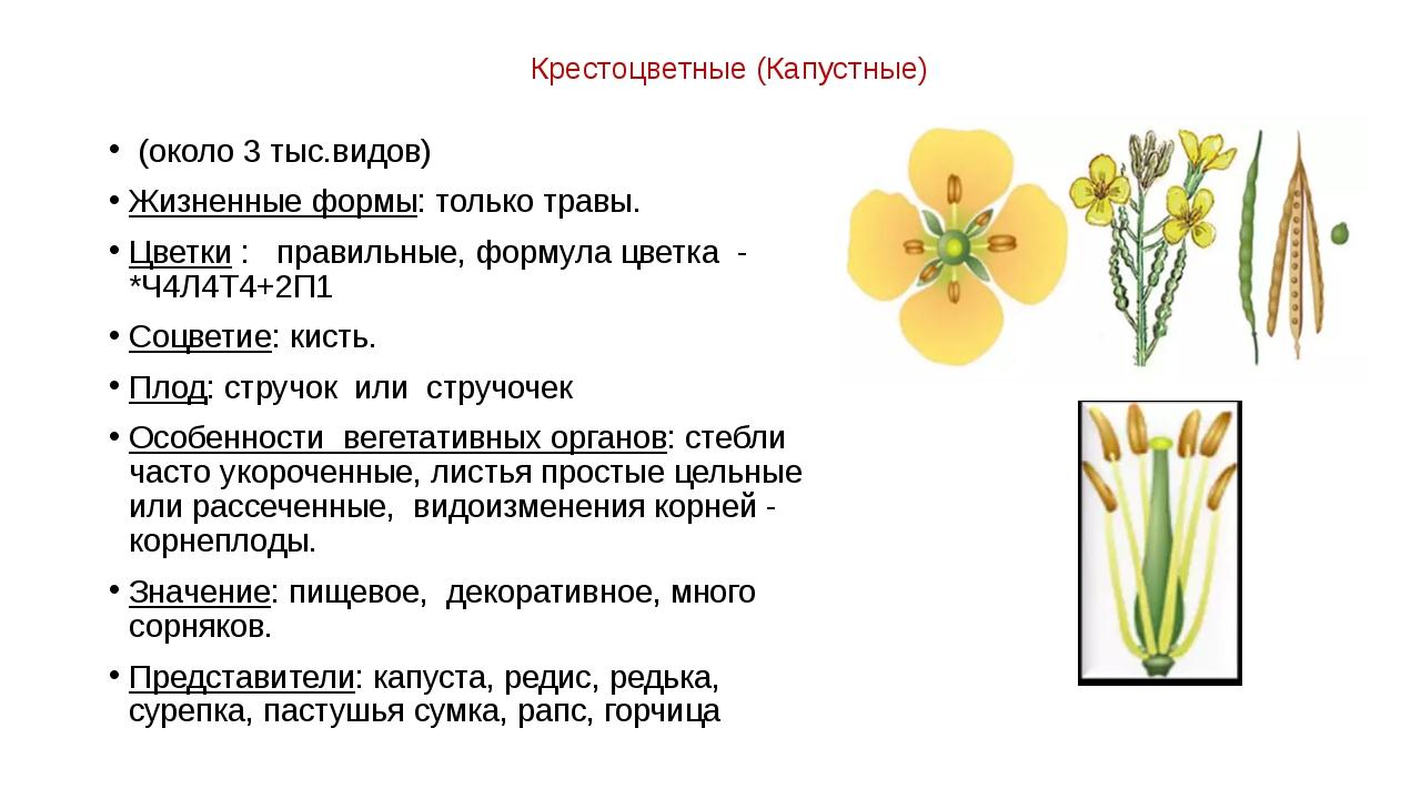 Крестоцветные (Капустные) (около 3 тыс.видов) Жизненные формы: только травы....