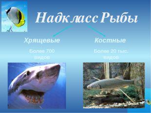 Надкласс Рыбы Хрящевые Костные Более 700 видов Более 20 тыс. видов