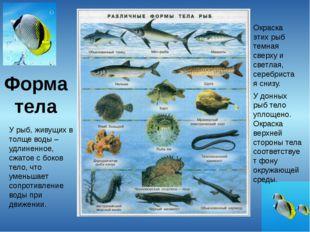 Форма тела У рыб, живущих в толще воды – удлиненное, сжатое с боков тело, что