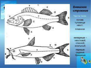 Внешнее строение Части тела: голова туловище хвост; плавники Плавники: непарн