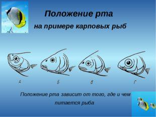 Положение рта на примере карповых рыб Положение рта зависит от того, где и че