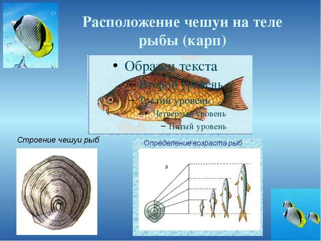 Расположение чешуи на теле рыбы (карп) Строение чешуи рыб