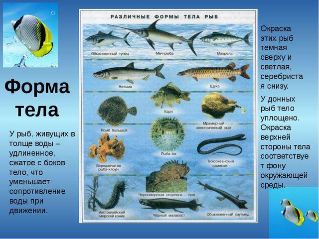 Форма тела У рыб, живущих в толще воды – удлиненное, сжатое с боков тело, что...