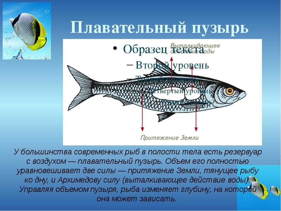Плавательный пузырь У большинства современных рыб в полости тела есть резерву...