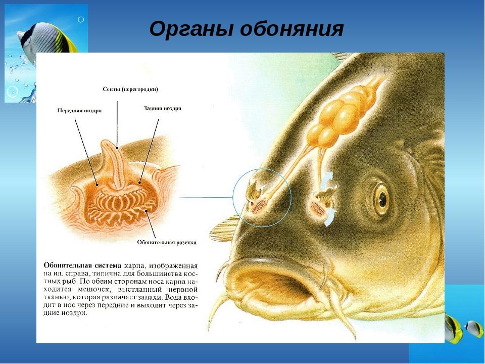 Органы обоняния