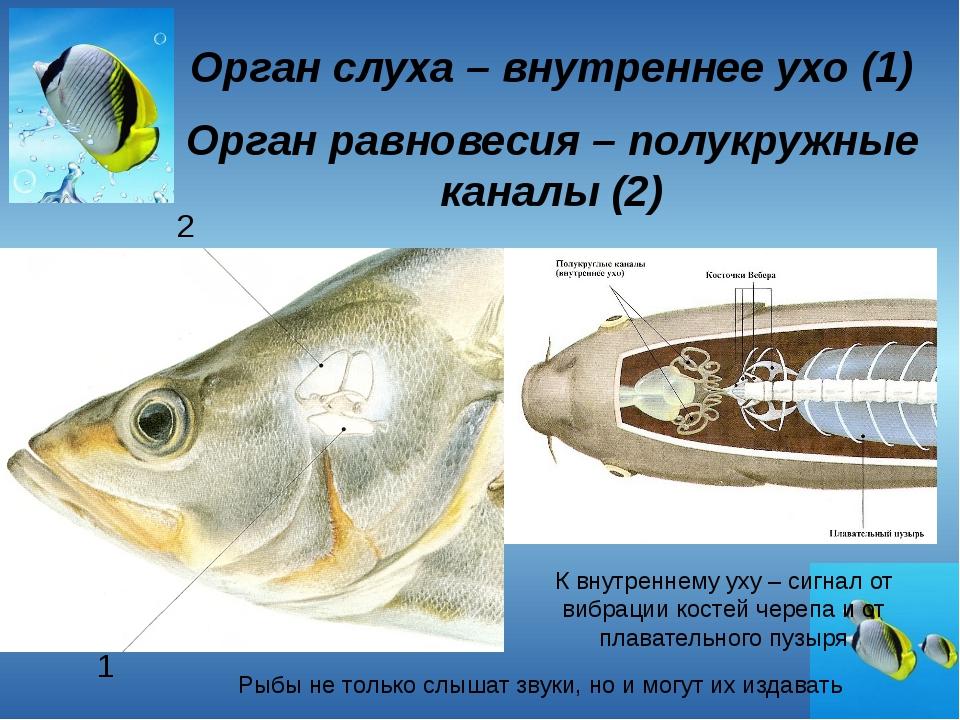 Орган слуха – внутреннее ухо (1) Орган равновесия – полукружные каналы (2) 1...