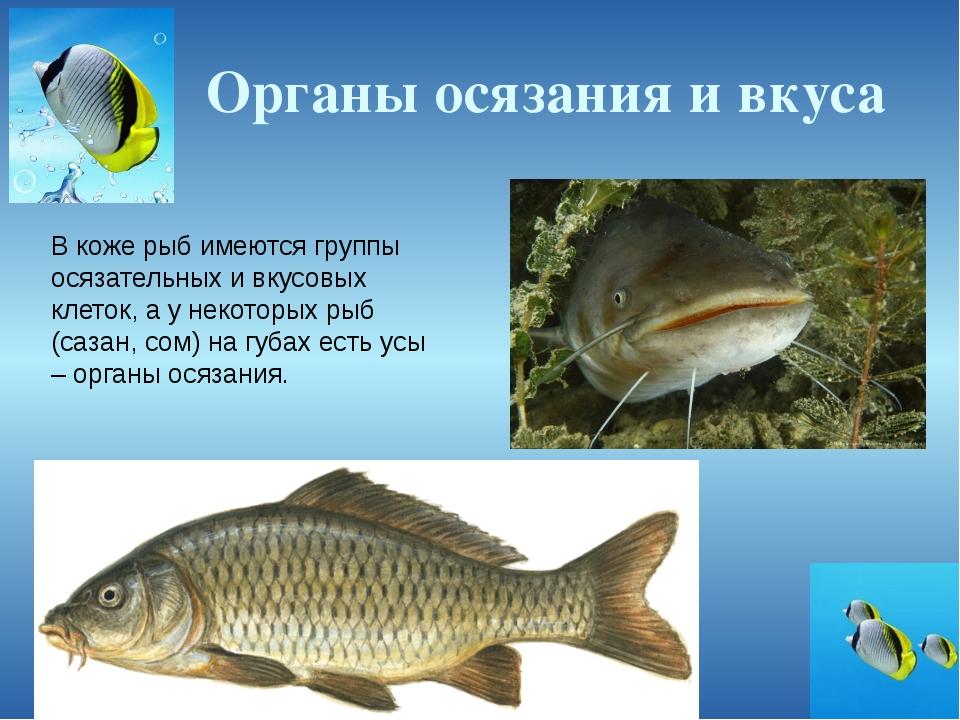 Органы осязания и вкуса В коже рыб имеются группы осязательных и вкусовых кле...