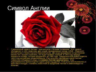 Символ Англии Современный символ Англии – красная роза с белыми тычинками. Эт