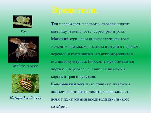 Вредители. Тля Колорадский жук Тля повреждает плодовые деревья, портит пшениц...