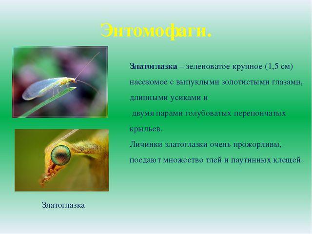 Энтомофаги. Златоглазка Златоглазка – зеленоватое крупное (1,5 см) насекомое...