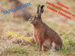 Заяц – беляк – млекопитающее, представитель семейства зайцев. Широко распрост
