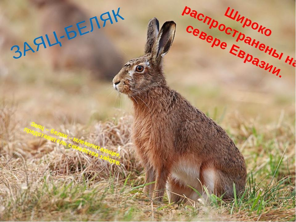 Заяц – беляк – млекопитающее, представитель семейства зайцев. Широко распрост...