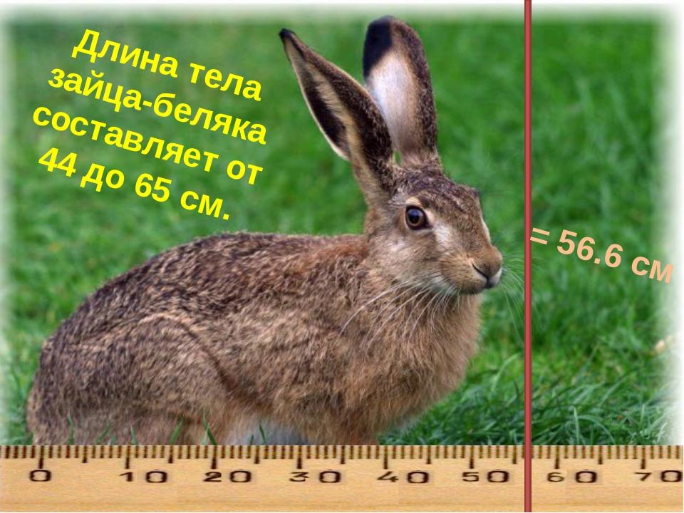 Длина тела зайца-беляка составляет от 44 до 65 см. = 56.6 см