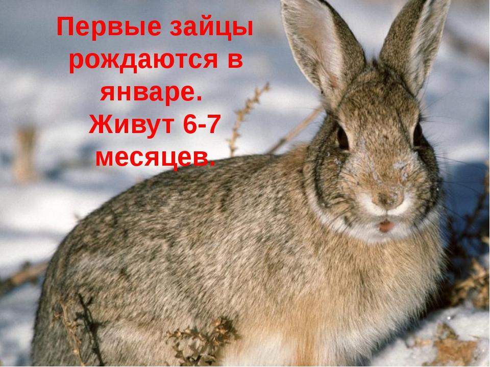 Первые зайцы рождаются в январе. Живут 6-7 месяцев.