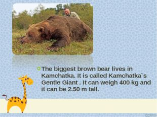 The biggest brown bear lives in Kamchatka. It is called Kamchatka`s Gentle Gi