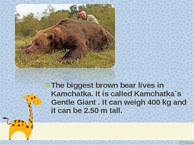 The biggest brown bear lives in Kamchatka. It is called Kamchatka`s Gentle Gi...