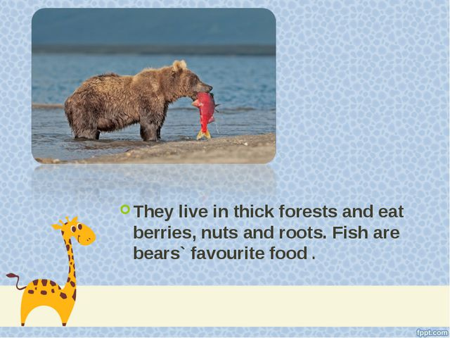 They live in thick forests and eat berries, nuts and roots. Fish are bears` f...