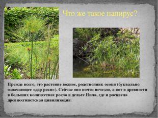 Что же такое папирус? Прежде всего, это растение водное, родственник осоки (