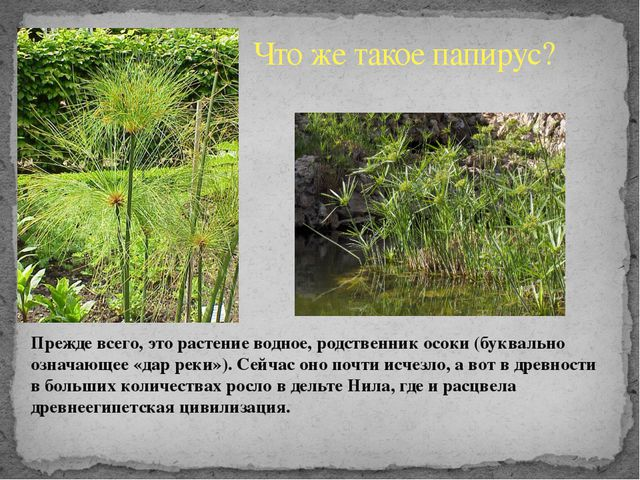 Что же такое папирус? Прежде всего, это растение водное, родственник осоки (...