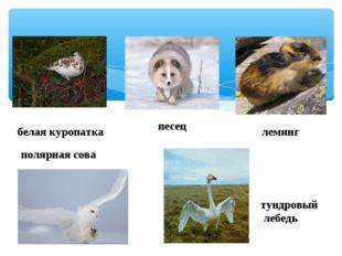 белая куропатка песец леминг полярная сова тундровый лебедь