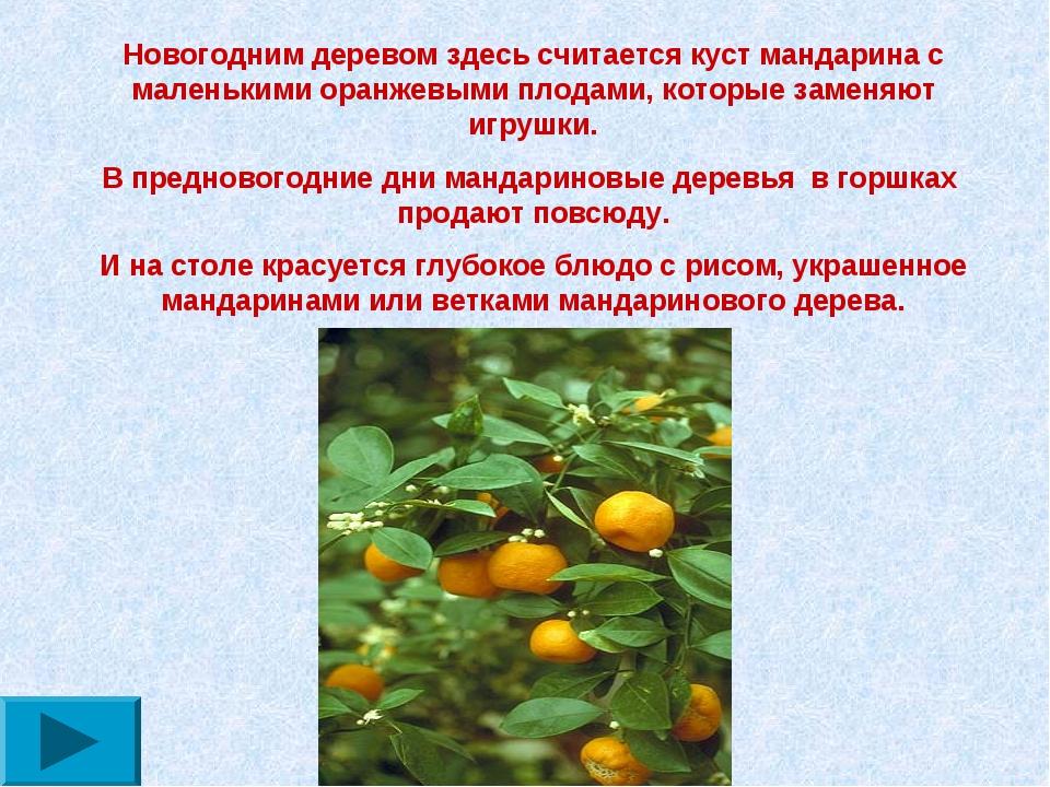 Новогодним деревом здесь считается куст мандарина с маленькими оранжевыми пло...