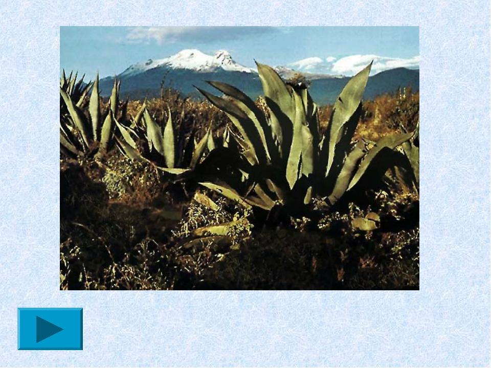 На Канарских островах в качестве новогодней ёлочки выступают агавы, которые р...