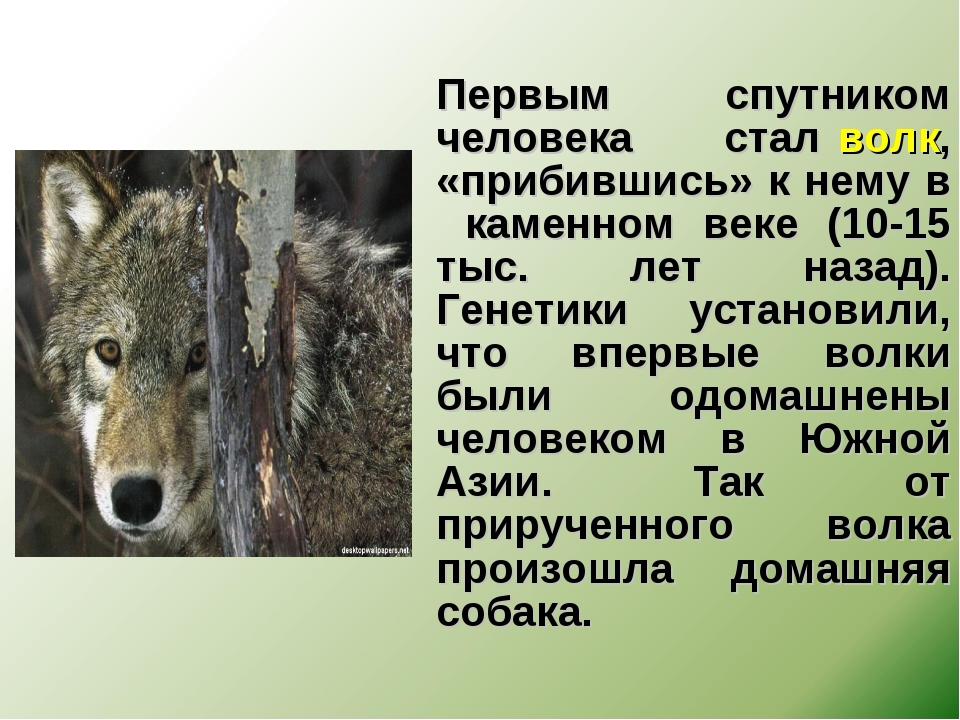 Первым спутником человека стал волк, «прибившись» к нему в каменном веке (10...