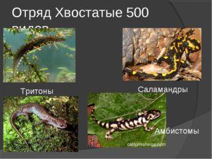 Отряд Хвостатые 500 видов Тритоны Саламандры Амбистомы