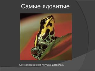 Самые ядовитые Южноамериканские лягушки- древолазы