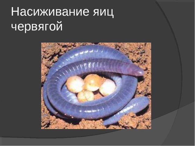 Насиживание яиц червягой