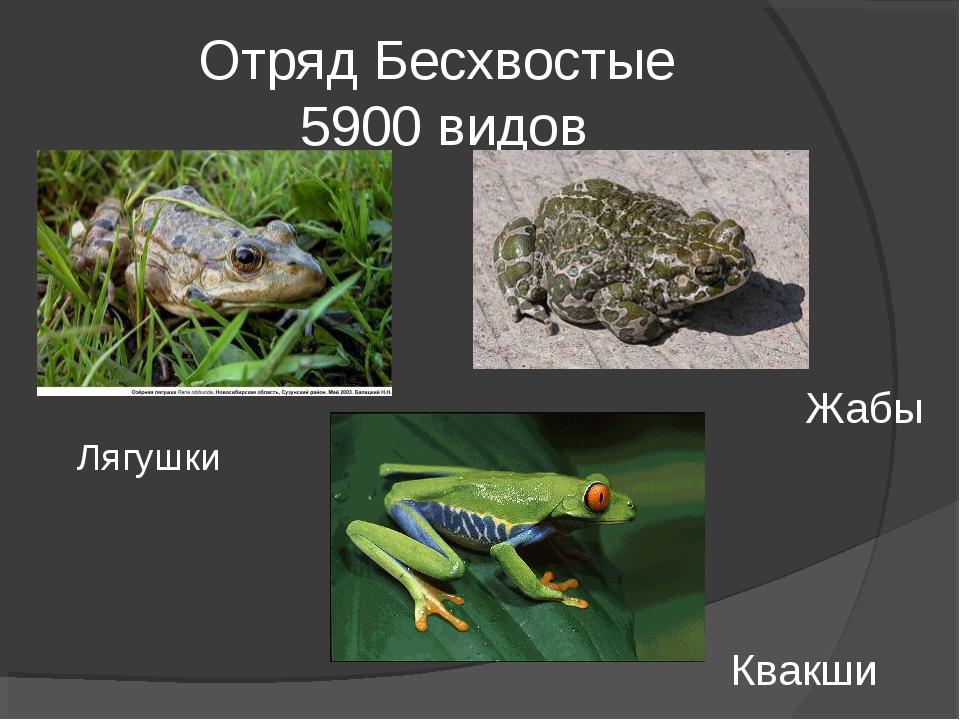 Отряд Бесхвостые 5900 видов Лягушки Жабы Квакши