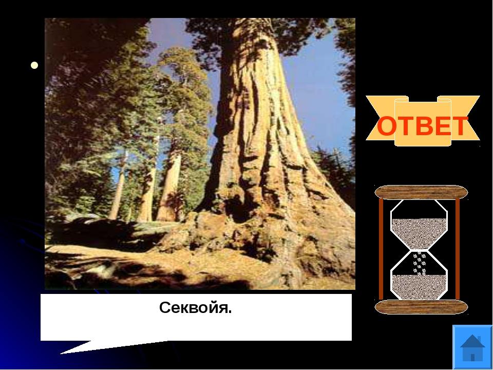 Вопрос 12 Род вечнозелёных хвойных деревьев. Относится к высочайшим деревьям...