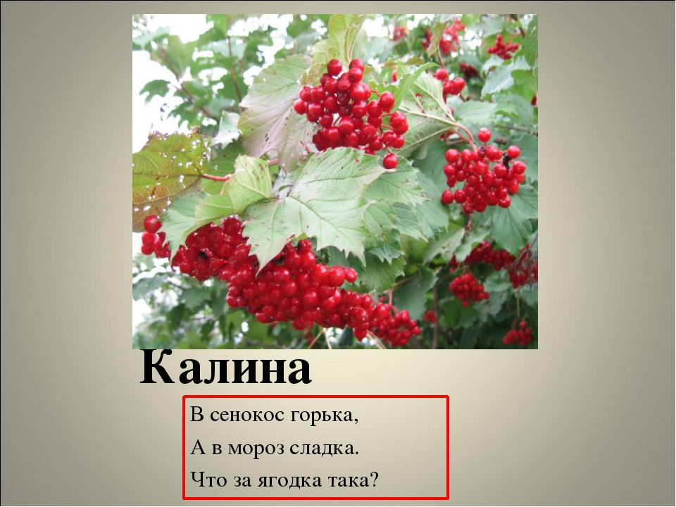 Калина В сенокос горька, А в мороз сладка. Что за ягодка така?