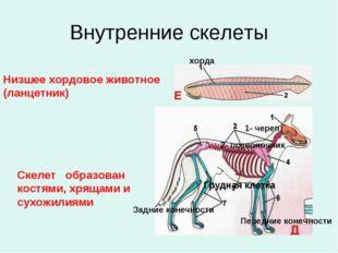 Внутренние скелеты Низшее хордовое животное (ланцетник) Скелет образован кост