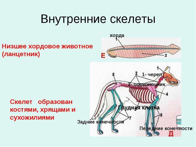 Внутренние скелеты Низшее хордовое животное (ланцетник) Скелет образован кост...
