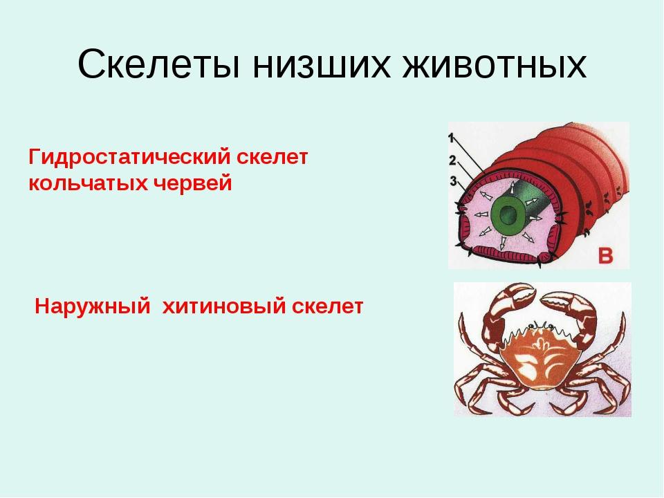 Скелеты низших животных Гидростатический скелет кольчатых червей Наружный хит...