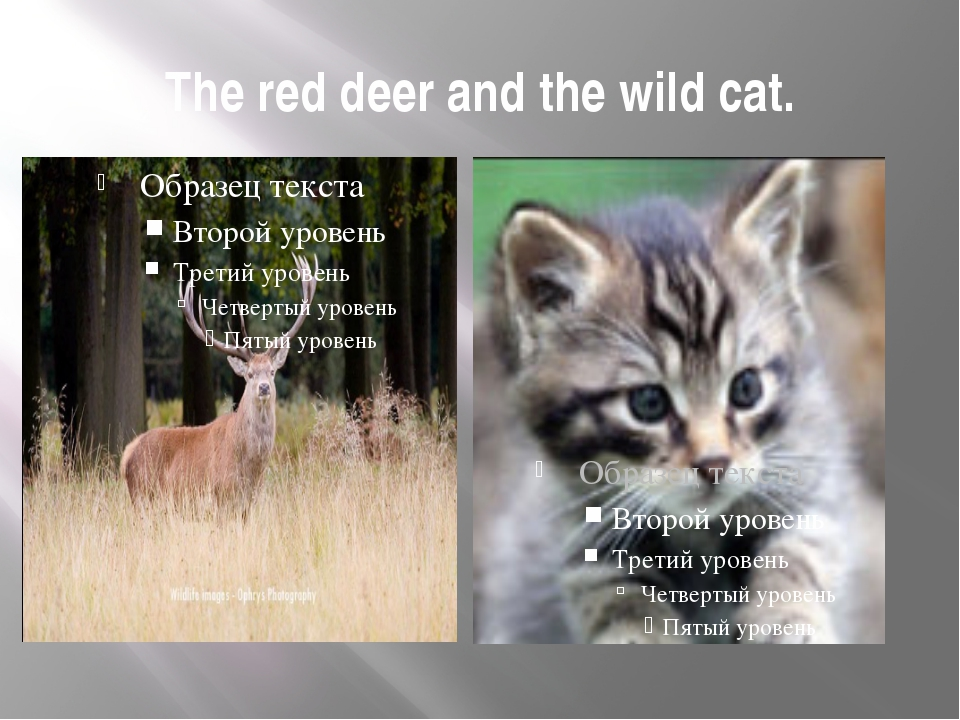 The red deer and the wild cat.