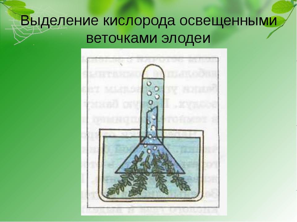Выделение кислорода освещенными веточками элодеи