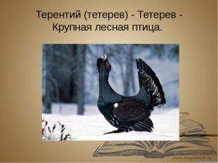 Терентий (тетерев) - Тетерев - Крупнаялесная птица.