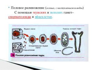 Половое размножение (осенью, с наступлением холодов) С помощью мужских и женс